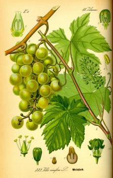 Weinrebe Illustration, public domain, Quelle Wikipedia